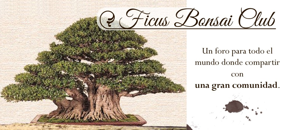 Ficus bonsái club!!